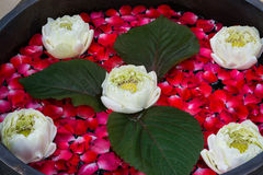 与瓣的浮动莲花上升了 库存图片