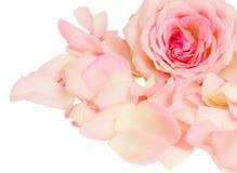 与瓣的粉红色玫瑰 免版税库存图片