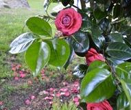 与瓣的美丽的玫瑰色自然花 免版税库存照片