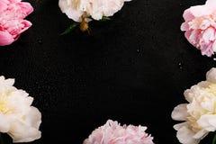 与瓣花的精美白色桃红色牡丹和在黑色的白色丝带 顶上的顶视图,平的位置 复制空间 库存图片