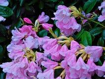与瓣装饰背景纹理的宏观照片在雨水的投下春天开花的灌木分支春天 库存图片