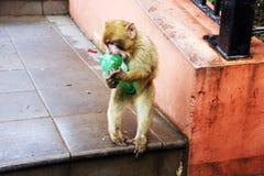 与瓶的巴巴里人猴子 图库摄影