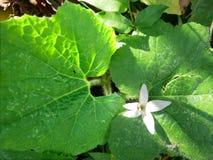 与甜瓜叶子的白色软木树花 免版税库存图片