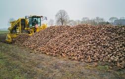 与甜菜收割机的甜菜收获一个农业机器 免版税库存图片