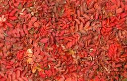 与生动的红色叶子的秋天样式狂放上升了 库存图片