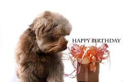 与生日礼物的Bolonka 免版税库存图片