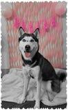 与生日装饰的多壳的狗 免版税库存照片