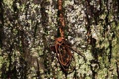 与生锈的钉子的树皮 库存照片