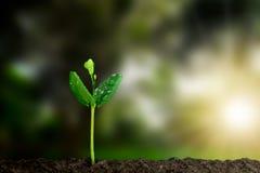 与生长从在被弄脏的绿色自然的土壤的水下落的年轻绿色新芽有软的阳光背景 库存图片