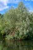 与生长在一条小河的河岸的银色叶子的杨柳,反射水表面上 图库摄影
