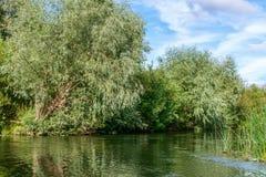 与生长在一条小河的河岸的银色叶子的杨柳,反射水表面上 库存照片