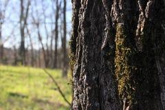 与生长在吠声的青苔的树 免版税库存照片