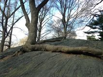 与生长在岩石的大和长的根的树 免版税库存图片