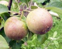 与生长在苹果树的分支的雨珠的两个成熟苹果 库存照片