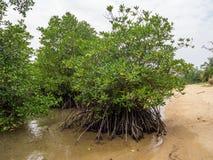 与生长在酸值阁帕岸岛的水中的根的美洲红树树 免版税库存照片