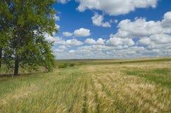 与生长在麦田边缘的白扬树的美好的夏天场面 免版税库存照片