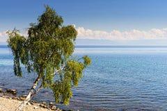 与生长在shor的被掀动的桦树的美好的夏天风景 库存图片
