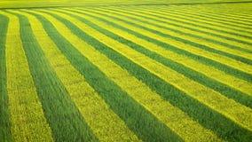 与生长的领域黄色和绿色油菜平行种植了空中的线 影视素材