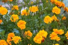与生长花金盏草,万寿菊的夏天背景 图库摄影