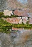 与生长通过镇压的地衣青苔的砖和水泥细节 免版税图库摄影