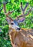 与生长鹿角的一头幼小骡子大型装配架鹿在橡木 免版税库存图片