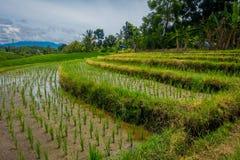 与生长,在Tegallalang村庄附近的小粮食作物的美丽的绿色米大阳台在Ubud,巴厘岛印度尼西亚 库存图片