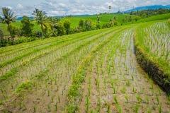 与生长,在Tegallalang村庄附近的小粮食作物的美丽的绿色米大阳台在Ubud,巴厘岛印度尼西亚 免版税图库摄影