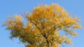 与用一片黄色秋天叶子慷慨地盖的美丽的树 股票视频