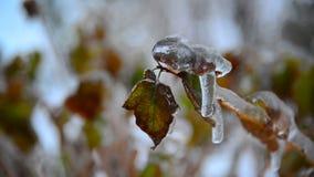 与用冰盖的叶子的灌木在雨以后在冬天 影视素材