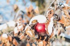 与用树冰和红色苹果的分支盖的叶子和雪在一个晴朗的冬日 免版税库存照片