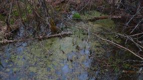 与用浮萍报道的树枝的沼泽 免版税图库摄影