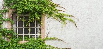 与用葡萄盖的格子的老窗口离开,一个minimalistic看法与白色织地不很细墙壁背景 免版税图库摄影