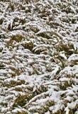 与用雪盖的绿色植物群的背景 库存照片