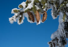 与用霜盖的锥体的冷杉分支 免版税库存照片