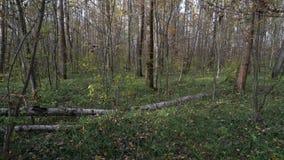 与用青苔盖的桦树日志的森林风景 股票视频