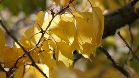 与用黄色秋天叶子关闭慷慨地盖的美丽的树 股票视频