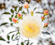 与由后照的芽的白色玫瑰 库存图片