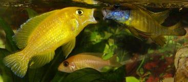 与男战斗的非洲丽鱼科鱼 免版税库存照片