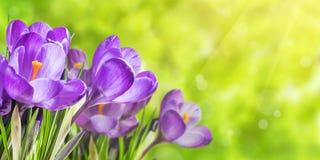与番红花的自然背景 免版税库存图片