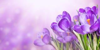 与番红花的自然背景 免版税库存照片
