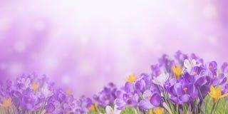 与番红花的自然背景 库存图片