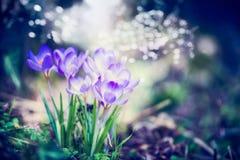 与番红花花的美好的春天自然场面和bokeh飘动 日森林春天郊区结构 免版税库存图片