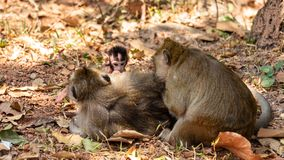 与疯狂的发型的新生儿猿 免版税图库摄影