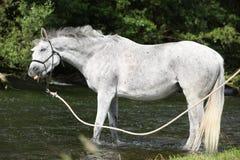 与疯狂的神色的白色英国良种马在河 免版税图库摄影