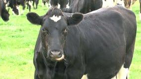 与痒的鼻子的母牛 股票录像