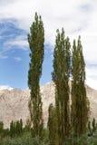 与白扬树的美好的风景在Leh 库存照片