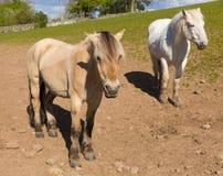 与白朋友的暗褐色米黄色的小马 免版税库存照片