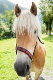 与白白金头发的白肤金发的马画象 库存照片