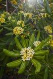 与白的yllow花和大叶子的美丽的树 免版税库存图片
