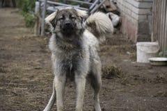 与白种人牧羊人的幼小奇瓦瓦狗狗 图库摄影